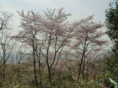 07.満開の桜の歓迎.jpg