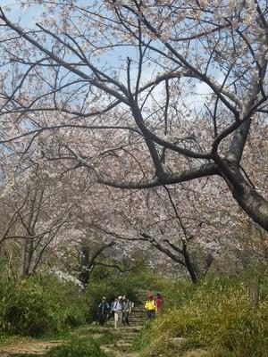 桜のトンネル.jpg