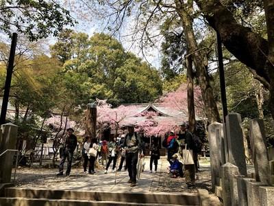 保久良神社本殿前の枝垂桜.jpg