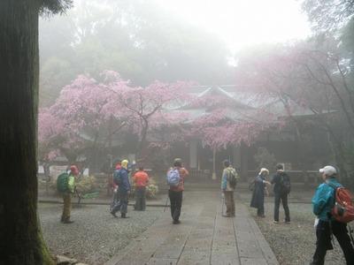 20170408_05.ガスに煙る保久良神社の枝垂サクラ.jpg