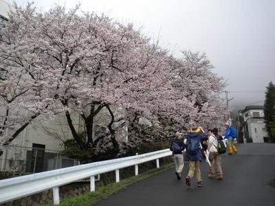 20170408_06.神戸薬大前の見事なサクラ.JPG