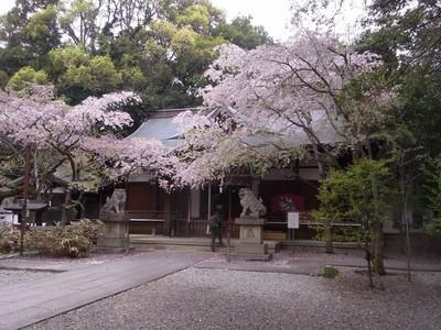 20180407-06.未だ綺麗な保久良神社の枝垂れ桜.jpg
