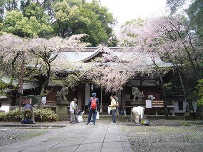 辛うじて残っていた保久良神社の枝垂桜.jpg